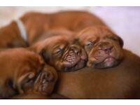 Dogue de Bordeaux KC reg puppies