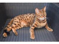 Missing Bengal cat female spayed 6 yrs old Cambridge £1000 reward