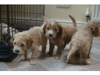 Cockapoo Puppies. Three boys remaining.