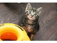 Tabby Kittens ready