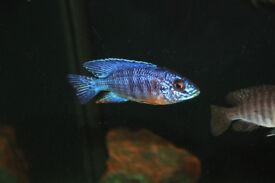 Malawi cichlid - Aulonocara Cobue