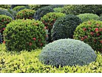 WANTED MATURE SHRUBS OR HEDGES TO FILL A LARGE GARDEN ALL CONSIDERED - CASH ON COLLECTION