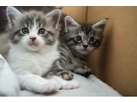 Mainecoon kittens 650£ each