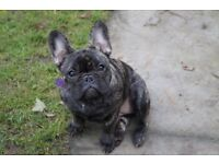Four Frenchie Female Puppies KC Registered