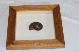 framed ammonites fossil from madagascar