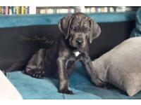 Cane Corso puppies ( DOB. 21.05.2021)