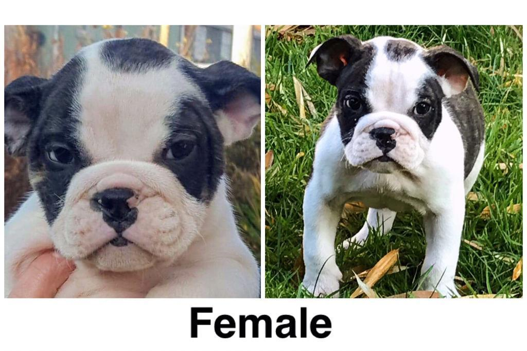 Old English Bulldog Pups Available In Blaina Blaenau Gwent