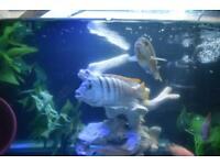 Cobalt Blue Zebra (Maylandia callainos Mbuna) Tropical Fish