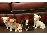 KC Registered Long Coat Male Chihuahua Puppies