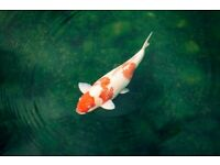 4 Koi Carp Fish Adults and a Baby For Sale