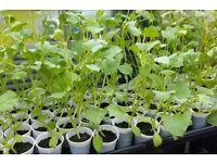 Plants For Sale: Melon, Corn, Pumpkin, Tomato, £1 each or 6 for £5