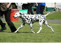 Kc registered Dalmatian Puppies