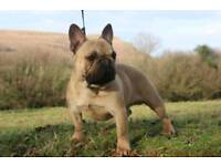 Beautiful quality French bulldog girl puppies