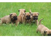 Beautiful French Bulldog cross puppies for sale