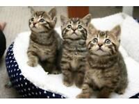 Gorgeous kittens ready