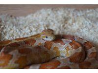 Corn Snake & Setup for sale - Fast Sale Needed - URGENT