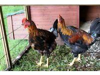 Breeding Welsummer cockerels For Sale