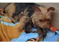 Pug cross Yorkshire terriers puppies