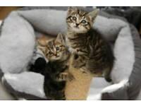 Lovely Tabby kittens