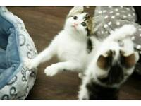 Cute Kitten Tabby and white for sale