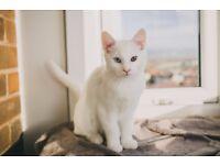 Khaoo Manee kittens