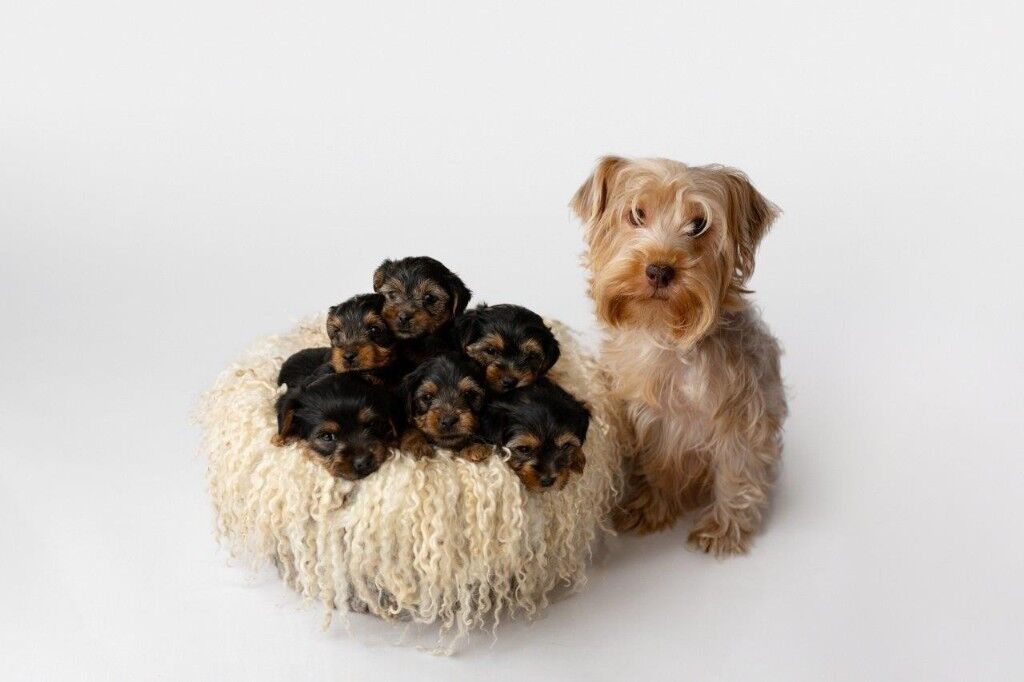 Full Size Yorkshire Terrier Puppies In Leicester Leicestershire