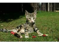 Beautiful male cross bengal kitten 3 months old