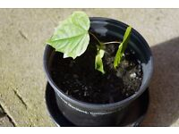 Horse Chesnut Saplings - Help the Earth, Plant a Tree! Perfect for pots or bonsai.