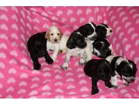 Cocker Spaniels - show type - KC registered, vaccinated, microchipped. STUNNING LITTER!