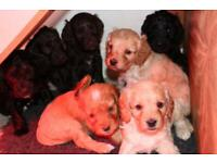 F1 Cockapoo/cockerpoo Puppies