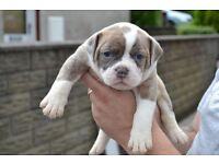 Old time bulldog puppies for sale