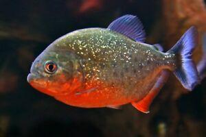 RED BELLIED PIRANHA *Serrasalmus nattereri* Freshwater 2cm to 4cm