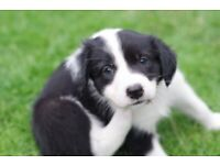 Beautiful last two remaining Border Collie Puppies Ready to go now.