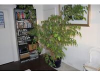 Lovely big Ficus plant