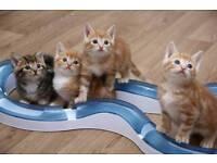 Ginger kittens 8 weeks
