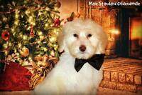 Standard Goldendoodle ! 2 pups left !!