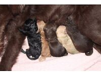 Labradoodle puppies for sale (raw fed)