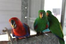 Eclectus parrots Boambee Coffs Harbour City Preview