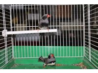 Java Finch , Bengalese finch many colour ,Zebra finch full white