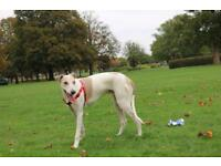 Lurcher greyhound for sale