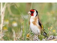 Goldfinch Cyprus bird