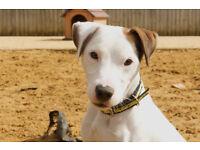 Happy Jack Russell Terrier