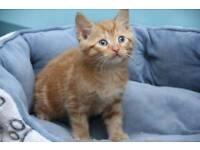 Ginger kittens for sale