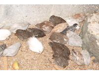 3 young healthy chinese painted quails