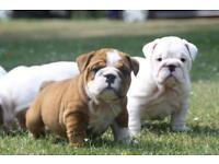 Amazing quality British bulldog puppies