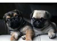 100% Pure Pug Puppies Ready in 2 Weeks From £850