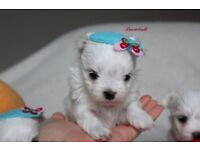 KENNEL CLUB reg Tiny Maltese Puppies Available