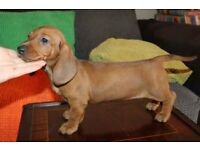 KC Standard Dachshund pup