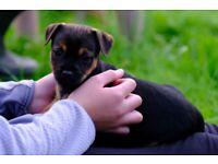 Pedigree Border Terrier x mini jack Russell pups
