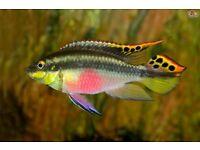 TROPICAL FISH - KRIBENSIS FOR SALE - GOOD SIZE